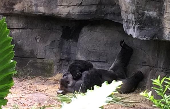 gorilla-dak