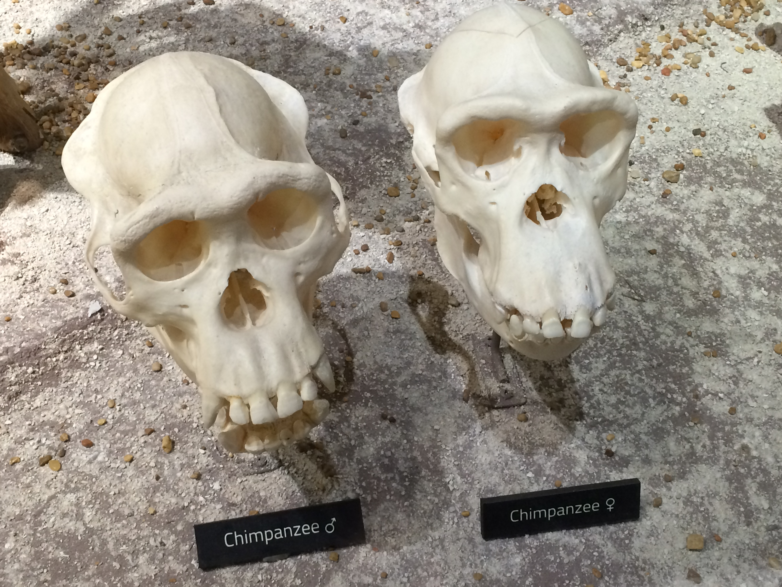 male and female chimpanzee skull comparison