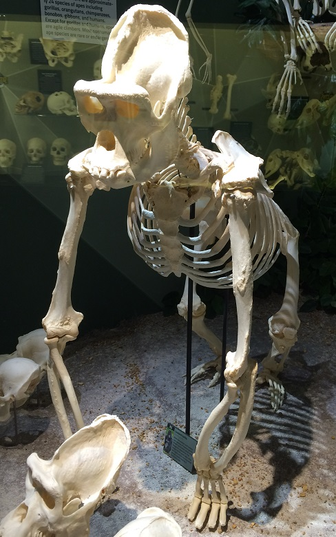 male gorilla skeleton
