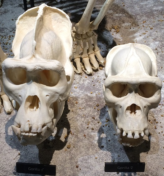 male and female gorilla skull comparison