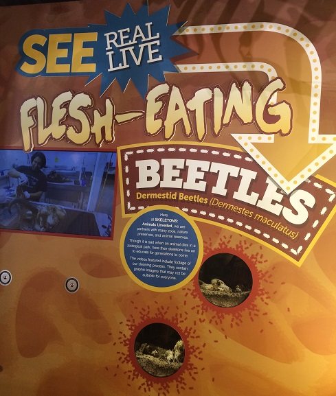 flesh-eating-beetles