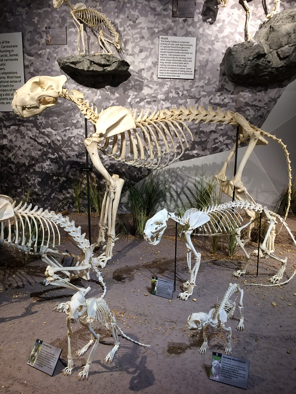 Skeletons of domestic cat, lion, and panther.